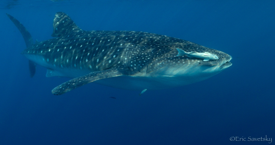 whale_shark_remora-1